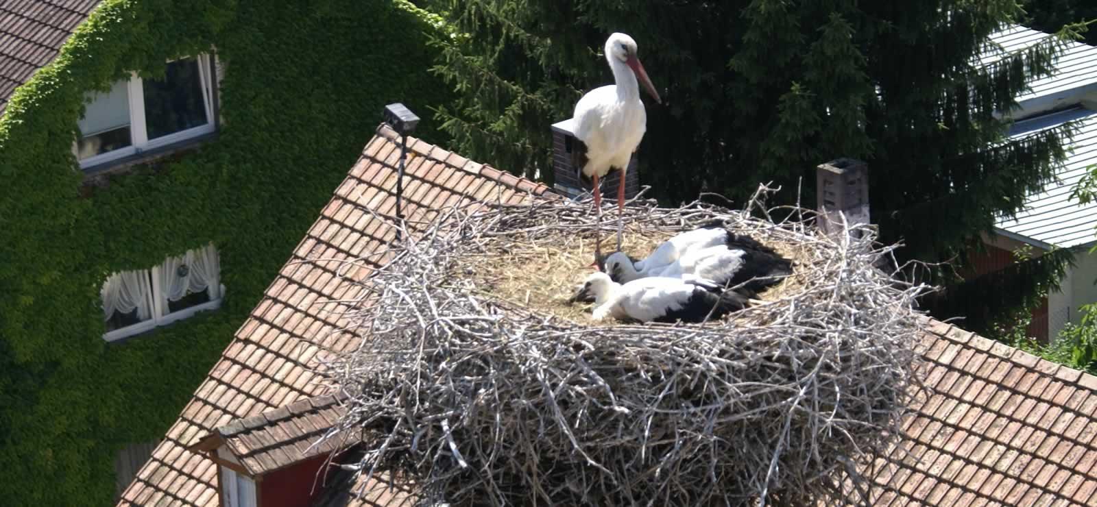 Ein Storch mit Jungen im Nest